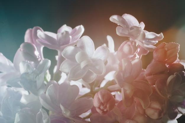 Gros plan de fleurs lilas sur fond noir