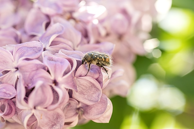 Gros plan de fleurs lilas et un scarabée assis sur une fleur. boké d'été.