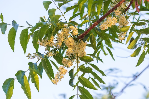 Gros plan de fleurs de neem ou de fleurs azadirachta indica. une branche de fleurs de neem inflorescence