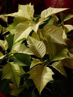 Gros plan de fleurs de noël vertes