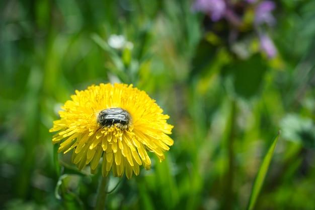 Gros plan de fleurs de pissenlit jaune en fleurs. détail de pissenlits communs lumineux dans une prairie de printemps. utilisé comme plante médicinale et ingrédient alimentaire