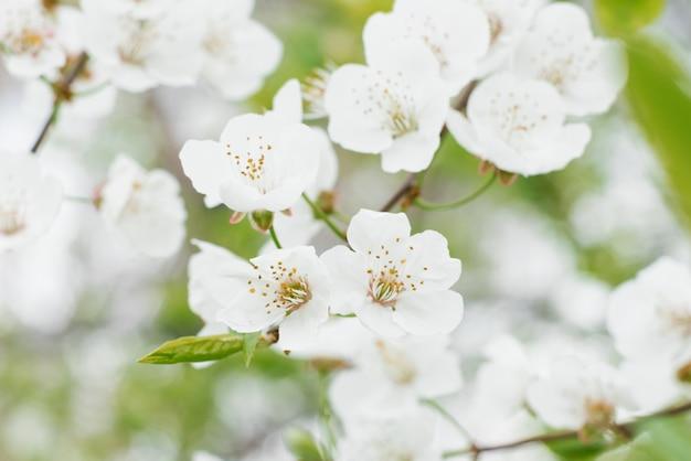 Gros plan de fleurs de poire blanche dans le jardin de printemps