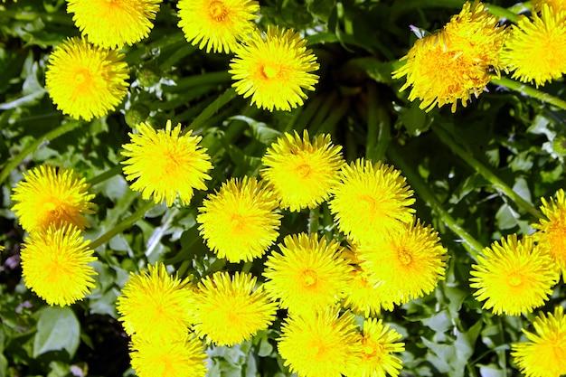Gros plan sur les fleurs de printemps de pissenlit jaune