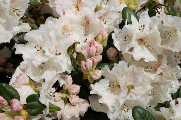 Gros plan de fleurs de rhododendron blanc