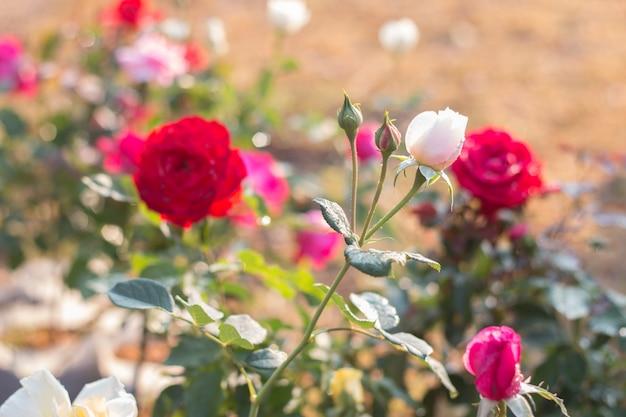 Gros plan, de, fleurs roses, sur, branche