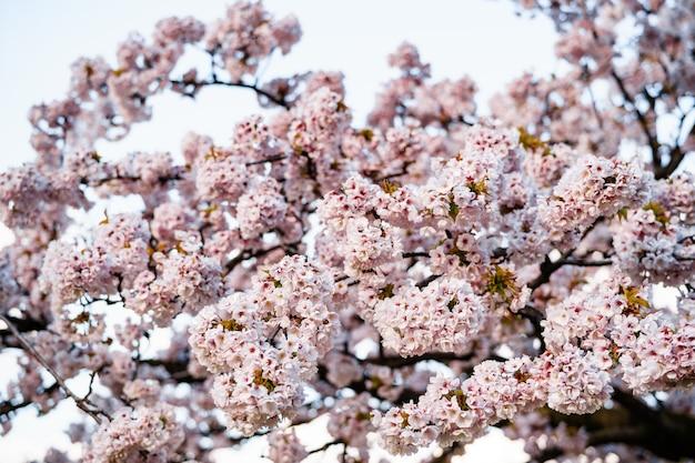 Gros plan de fleurs roses de cerisier en fleurs sur les branches.