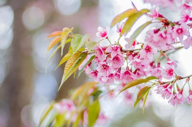 Gros plan des fleurs roses de cerisier de l'himalaya sauvage (prunus cerasoides) avec arrière-plan flou bokeh, chiang mai, thaïlande