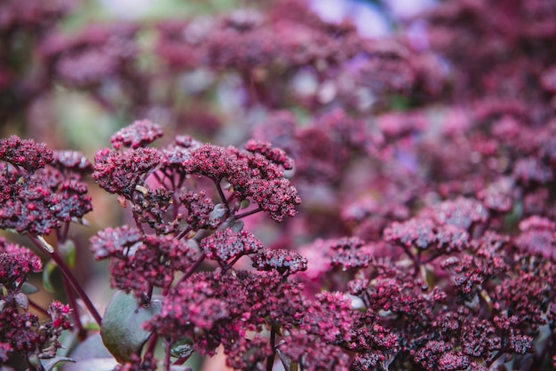 Gros plan sur les fleurs rouges de crassulaceae
