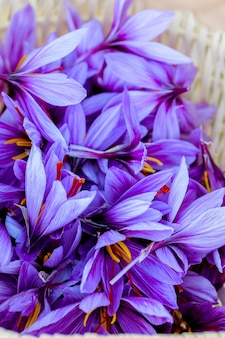 Gros plan des fleurs de safran à la saison des récoltes.