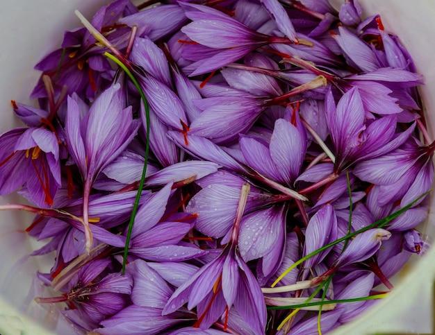 Gros plan sur des fleurs de safran violet à la saison des récoltes.