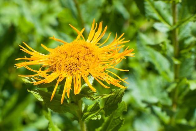 Gros plan de fleurs sauvages alpines, lumière du soleil et jour, fond de nature. fleurs épanouies en géorgie