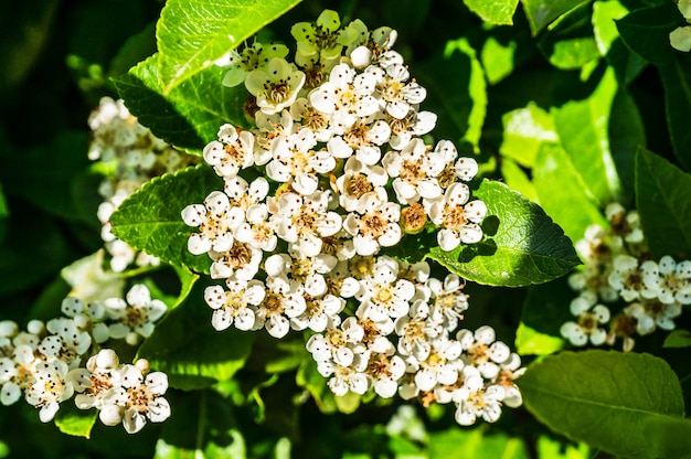 Gros plan de fleurs de spiraea blanches et feuilles vertes