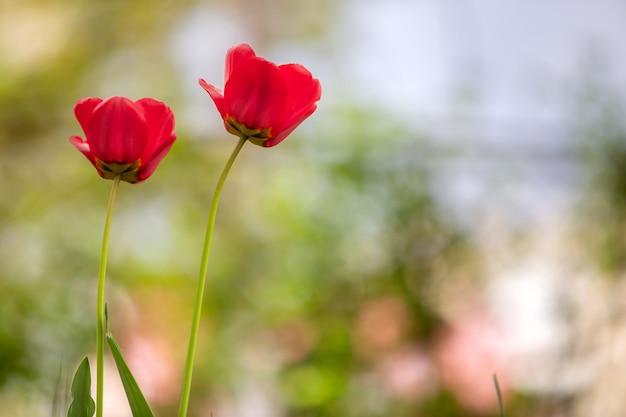 Gros plan de fleurs de tulipe rouge qui fleurit dans le jardin de printemps à l'extérieur.