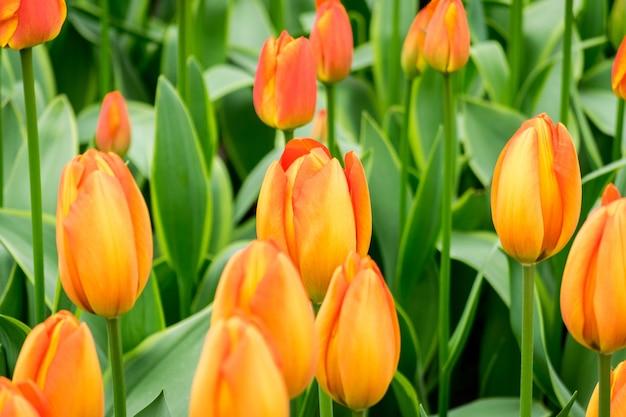 Gros plan des fleurs de tulipes orange dans le domaine par une journée ensoleillée - parfait pour le fond