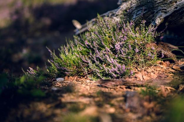 Gros plan de la floraison calluna vulgaris