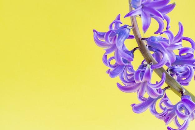 Gros plan de la floraison de la fleur de jacinthe bleue sur fond jaune.