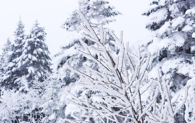 Gros plan flou de branches couvertes de neige dans la forêt d'hiver. beau paysage d'hiver.