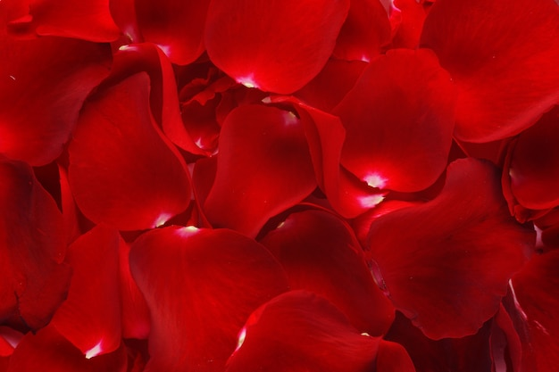 Gros plan de fond de pétales de rose.