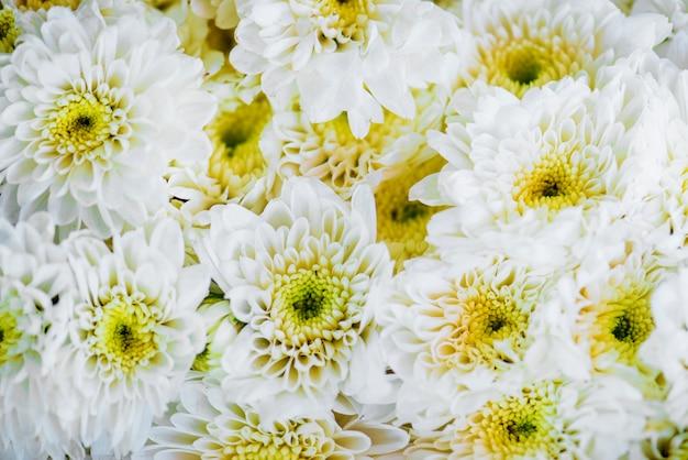 Gros plan de fond texturé de chrysanthème blanc