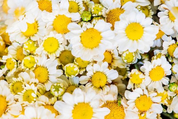 Gros plan d'un fond texturé de chrysanthème blanc