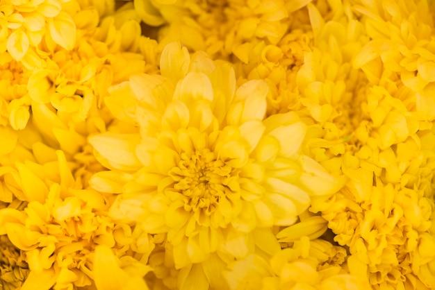 Gros plan de fond texturé de chrysanthèmes