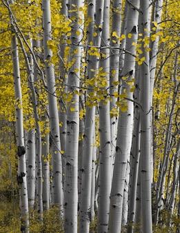 Gros plan sur la forêt d'aspen en automne