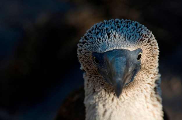 Gros plan d'un fou à pieds bleus (sula nebouxii), punta suarez, île d'espanola, îles galapagos, équateur