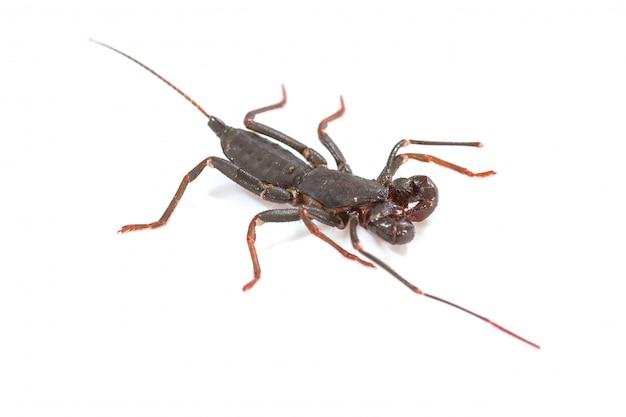 Gros plan de fouet scorpion ou vinaigre (mastigoproctus giganteus) sur fond blanc