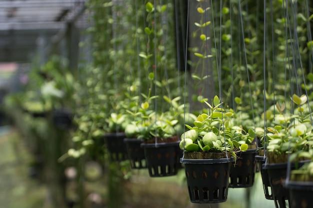 Gros plan fourmi ou dischidia pectenoides poire dans le jardin avec fond de nature.