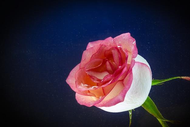 Gros plan, frais, rose, rose, couvert, eau, gouttelettes, noir