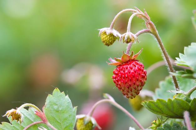 Gros plan, fraise, buisson, petit, vert, grand, rouge, mûre, délicieux, baies, éclairé, été, soleil, flou, sombre, sol, fond agriculture, agriculture et concept d'aliments sains.