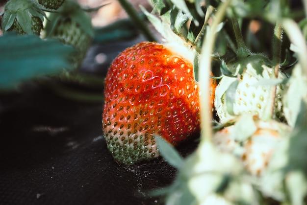 Gros plan de fraises baies. beau fond naturel.