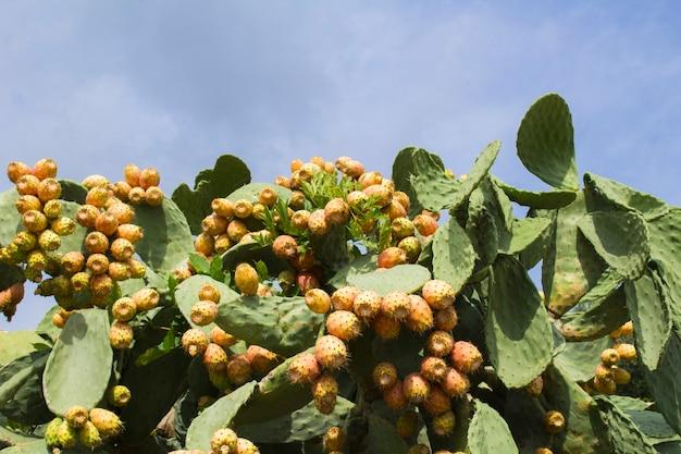 Gros plan sur des fruits de cactus comestibles contre le ciel bleu par une journée ensoleillée. fond naturel.