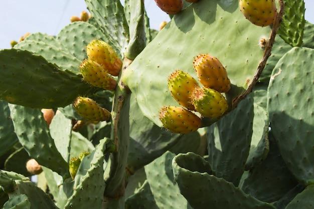 Gros plan sur des fruits de cactus comestibles. fond naturel.