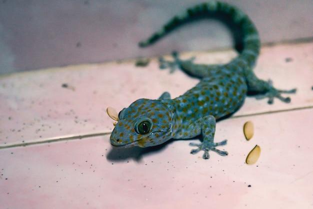 Gros plan gecko manger des insectes dans la maison
