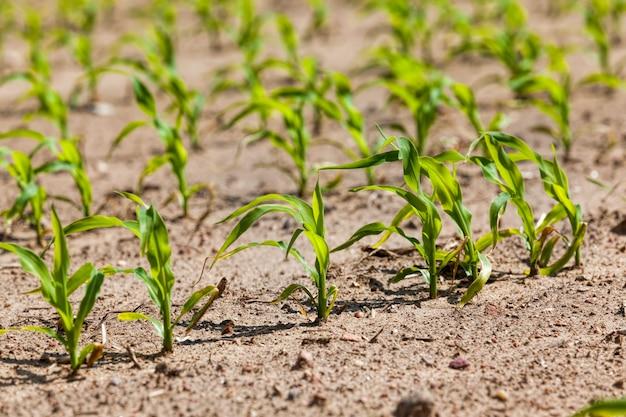 Gros plan de germes de maïs verts au printemps ou en été, le maïs dans le domaine agricole, les grains de maïs sont utilisés à la fois pour la cuisson des aliments, des aliments pour le bétail et pour la production d'éthanol de biocarburant écologique