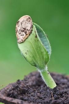 Gros plan sur la germination d'une graine sur le vert