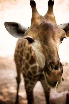 Gros plan de girafe au zoo