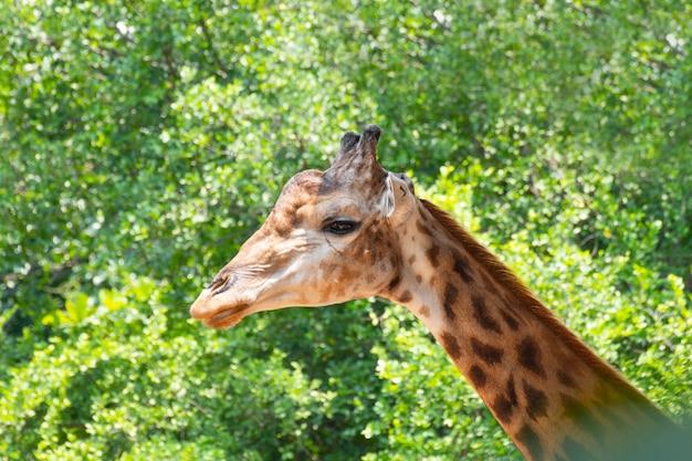 Gros plan d'une girafe