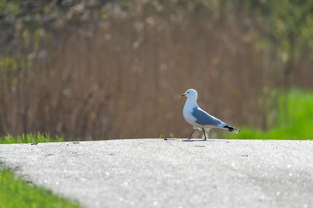 Gros plan d'un goéland argenté marchant sur le terrain