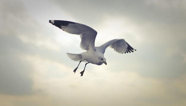 Gros plan d'un goéland à bec cerclé volant dans la journée
