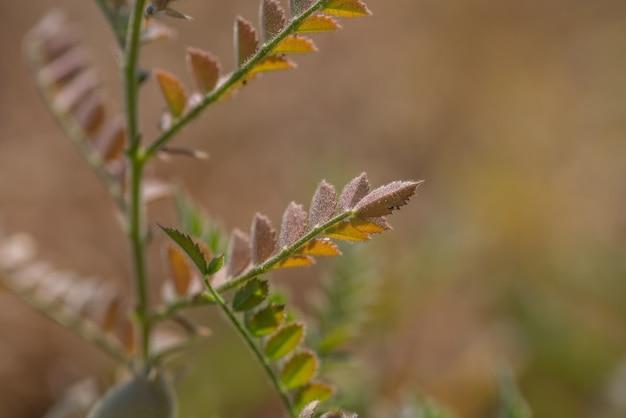 Gros plan de la gousse de pois chiches avec de jeunes plantes vertes dans le domaine de la ferme,