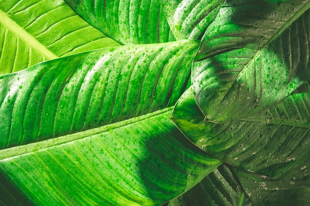 Gros plan d'une goutte de pluie sur fond de feuilles vertes naturelles, texture de feuillage tropical.