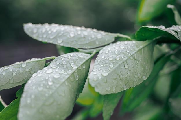 Gros plan des gouttes d'eau sur une feuille verte après la pluie, la vue sur la nature dans le jardin en été.