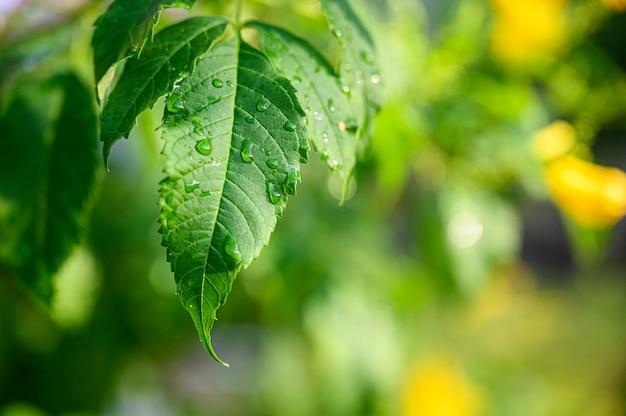 Gros plan de gouttes d'eau sur une feuille verte, la vue sur la nature dans le jardin en été.