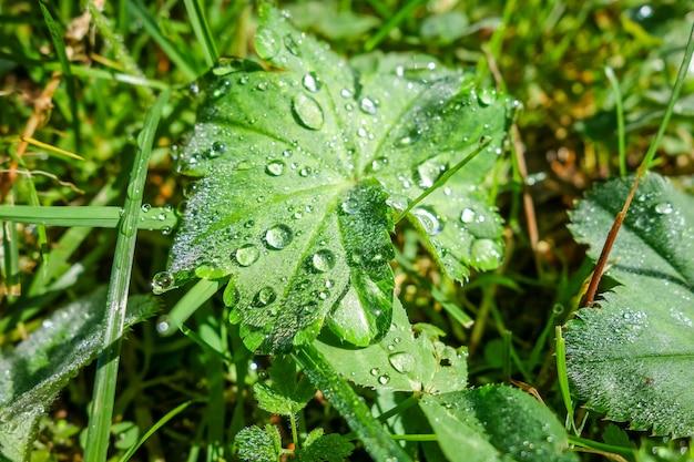 Gros plan de gouttes d'eau sur les feuilles vertes dans la lumière du matin