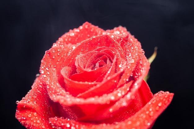 Gros plan de gouttes de pluie sur rose rouge sur fond noir. frais du magasin de fleurs.