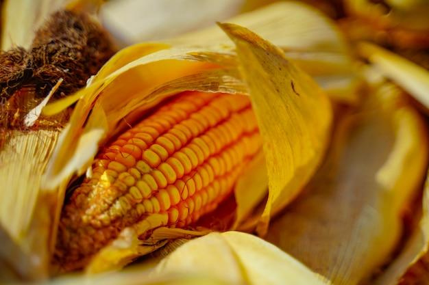 Gros plan des graines de maïs séchées, grains de maïs mûr.