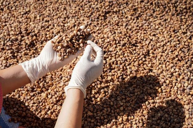 Gros plan sur des grains de café arabica transformés et séchés entre les mains d'un agriculteur.