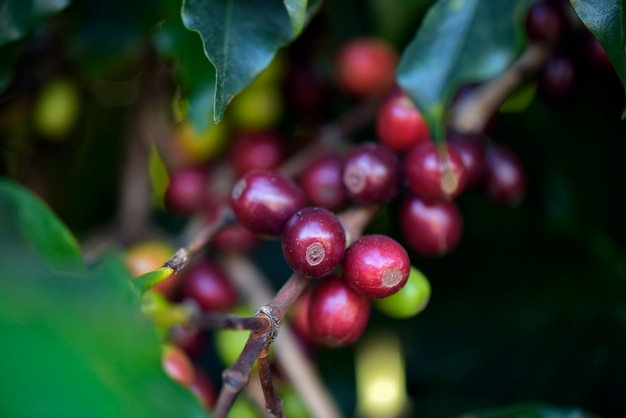 Gros plan de grains de café mûrs sur l'arbre